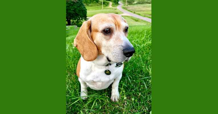 Photo of Jesse, a Beagle  in Arcadia, Wisconsin, USA