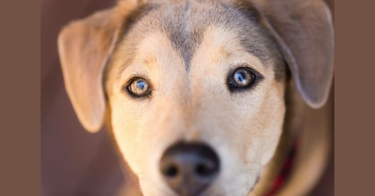 Photo of Dixie, a Chow Chow, Siberian Husky, Labrador Retriever, and Mixed mix in North Carolina, USA