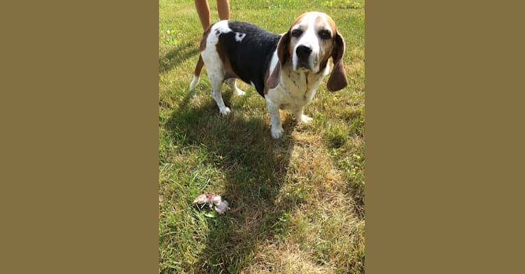 Photo of Maggi, a Basset Hound and Brittany mix