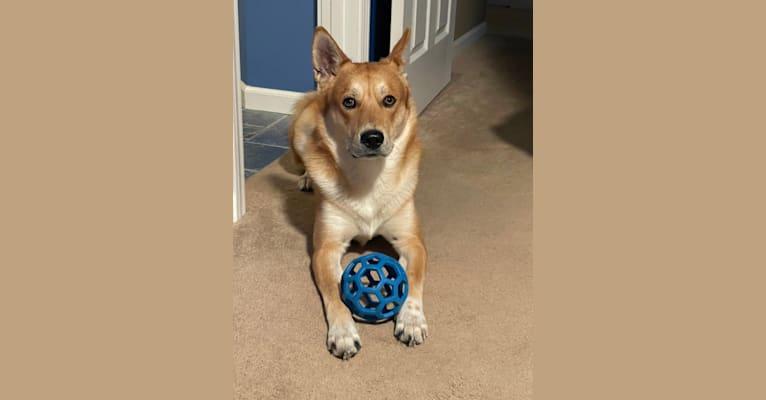 Photo of Dax, a Carolina Dog  in Pana, IL, USA