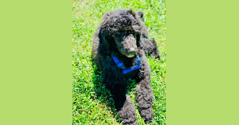Photo of Sully, a Poodle (Standard)  in Iron Station, North Carolina, USA