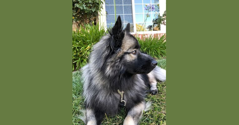 Photo of Thor, a Keeshond