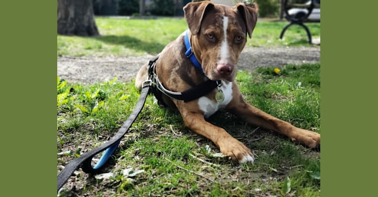 Photo of Rescue dog, an American Pit Bull Terrier, Labrador Retriever, German Shepherd Dog, American Staffordshire Terrier, and Mixed mix in Helena-West Helena, AR, USA