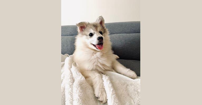 Photo of Miska, an American Eskimo Dog, Samoyed, and Norwegian Elkhound mix