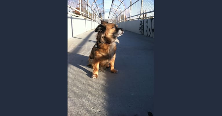 Photo of Tramp, a Chihuahua, Poodle (Small), Rat Terrier, Lhasa Apso, and Mixed mix in Harbor City, Los Angeles, CA, USA