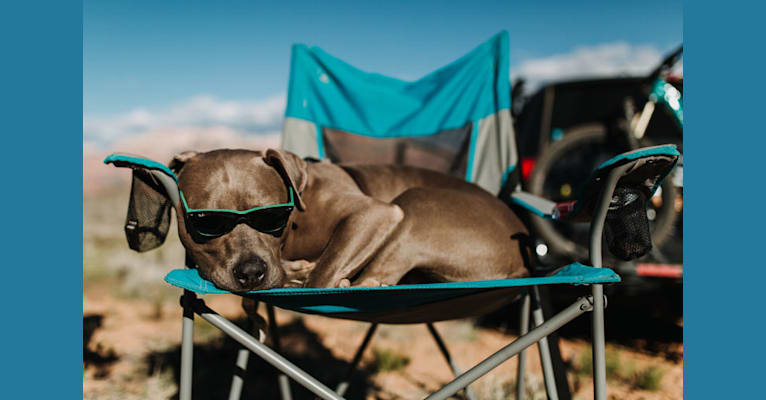 Photo of Blu, an American Bully and American Pit Bull Terrier mix in California, USA
