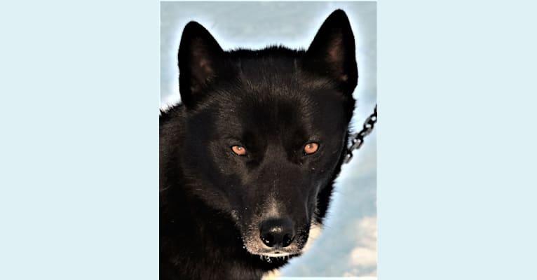 Photo of Nox, a Siberian Husky  in N7030 County Road P, Theresa, WI, USA