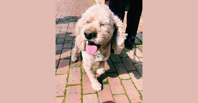 Photo of Holly, a Cockapoo  in Blacksburg, VA, USA