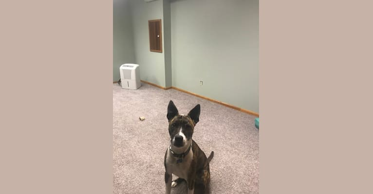 Photo of Bruno, an American Pit Bull Terrier and Siberian Husky mix in Rochester, New York, USA