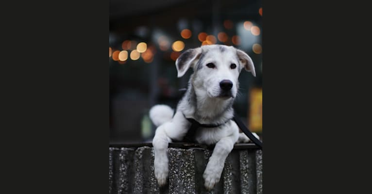 Photo of Malakai, a Siberian Husky, Labrador Retriever, and German Shepherd Dog mix in Warsaw, Masovian Voivodeship, Poland