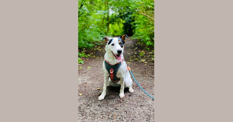Photo of Rita, an Australian Cattle Dog, Rottweiler, and American Pit Bull Terrier mix in Houston, Texas, USA