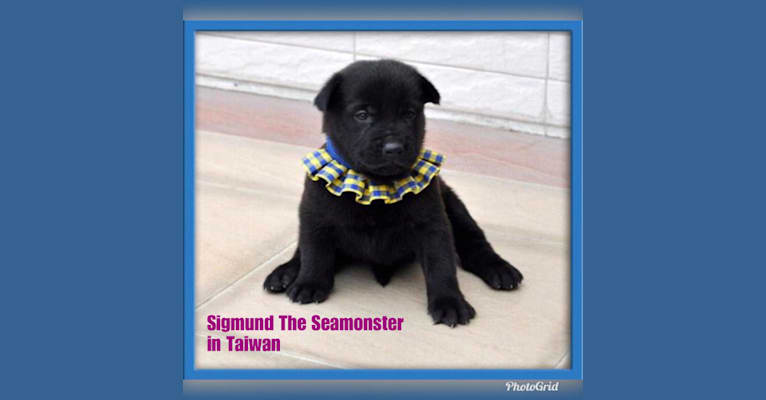 Photo of Sigmund The Seamonster, a Formosan Mountain Dog and Akita Inu mix in Taiwan