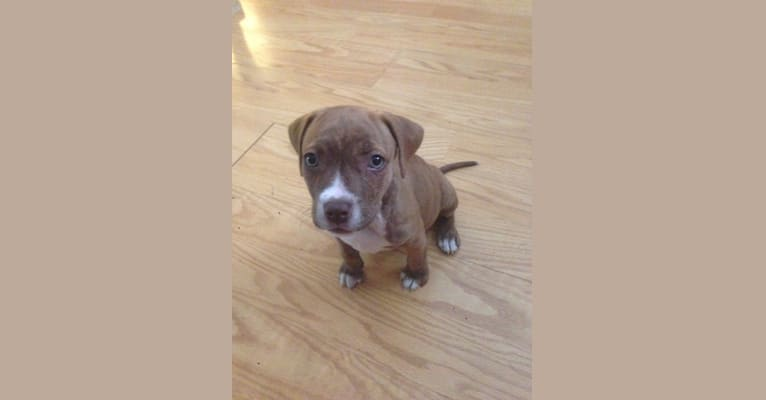 Photo of Buttercup, an American Pit Bull Terrier and Labrador Retriever mix in Wilmington, North Carolina, USA