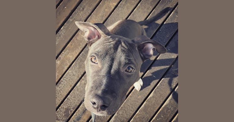 Photo of george, an American Bully and American Pit Bull Terrier mix in Fresno, California, USA