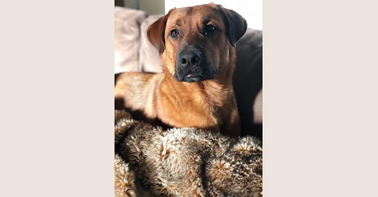 Photo of Copper, a Rottweiler, American Pit Bull Terrier, German Shepherd Dog, and Mixed mix in Guelph, Ontario, Canada