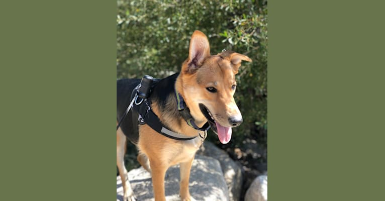 Photo of Shainee, a German Shepherd Dog, Australian Cattle Dog, and Mixed mix in Long Beach, California, USA