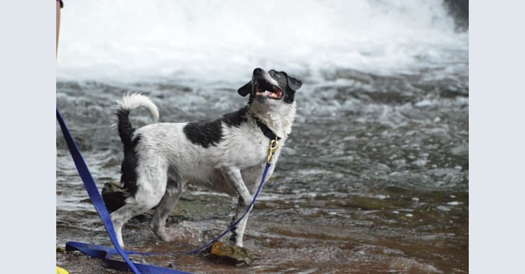 Photo of Jack, a Russell-type Terrier, Mountain Cur, Beagle, Cocker Spaniel, Rat Terrier, and Mixed mix in New York, USA