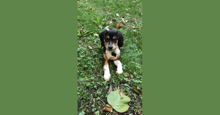 Photo of Rooney, a Beagle, Labrador Retriever, Bluetick Coonhound, and Border Collie mix in Virginia Beach, Virginia, USA