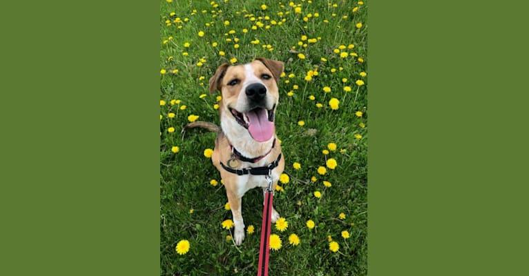 Photo of Dobi, a Boxer, German Shepherd Dog, American Pit Bull Terrier, and Australian Cattle Dog mix in Kingston, Ontario, Canada