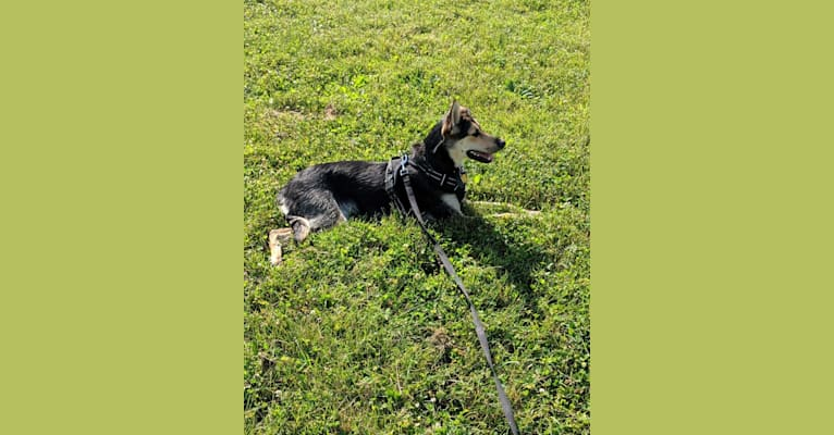 Photo of Cali, an Alaskan-type Husky and German Shorthaired Pointer mix in Manitoba, Canada