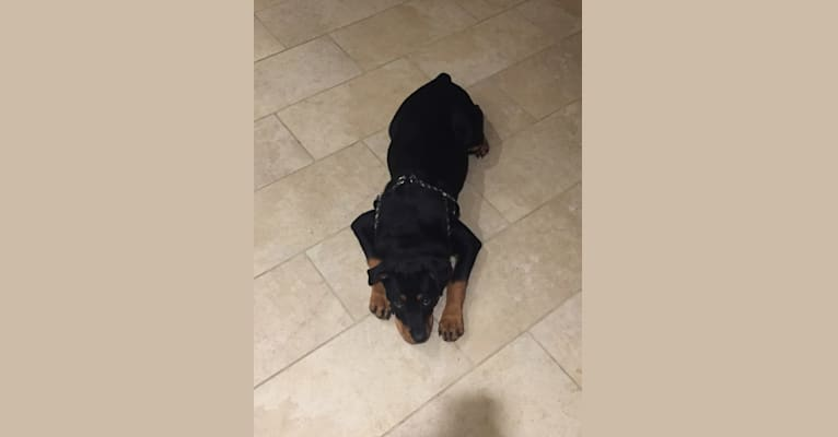 Photo of Lazer, a Rottweiler and American Pit Bull Terrier mix in Pasadena, Texas, USA