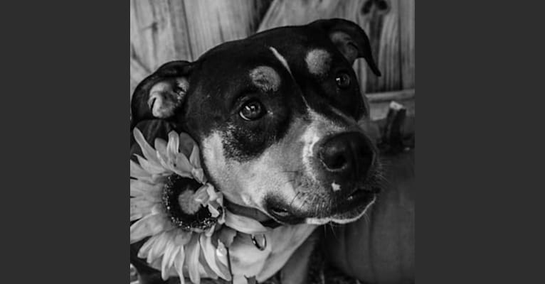 Photo of Kimber, an American Bully  in Lacey, WA, USA