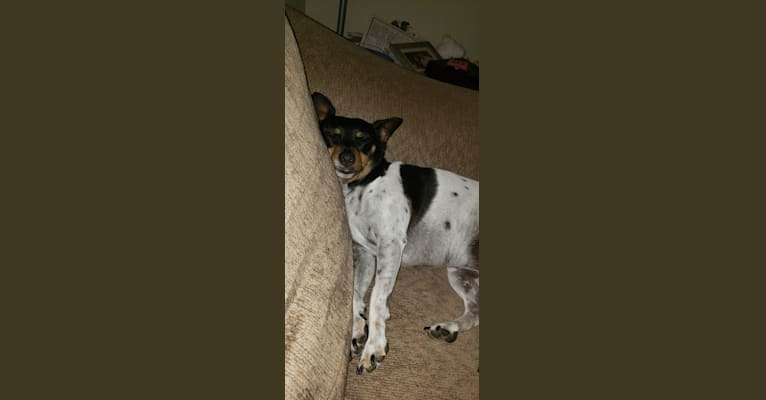 Photo of Haley, a Chihuahua, Miniature Pinscher, Russell-type Terrier, Toy Fox Terrier, and Rat Terrier mix in Austin, Texas, USA