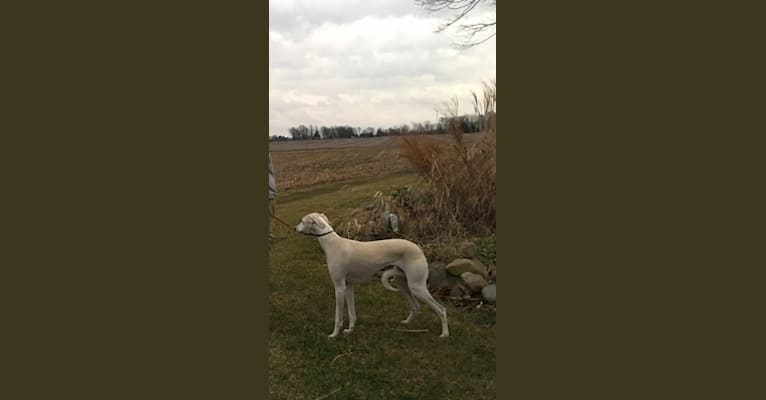 Photo of Yeager, a Saluki  in Jamestown, Indiana, USA