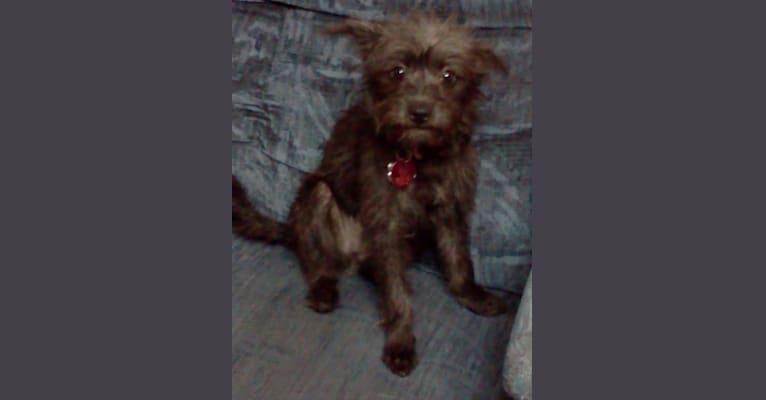 Photo of Bella, a Chihuahua, Miniature Schnauzer, Poodle (Small), Dachshund, and Mixed mix in South Dakota, USA