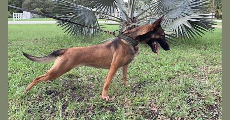 Photo of Darla, a Dutch Shepherd  in Florida, USA
