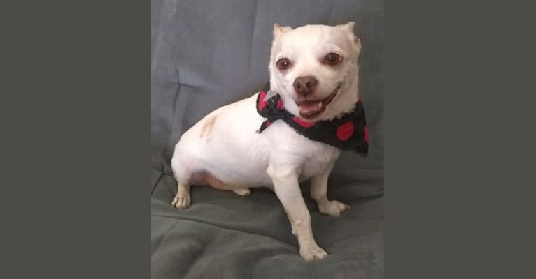 Photo of Taco Schrödinger, a Chihuahua and Poodle (Small) mix in Las Vegas, Nevada, USA