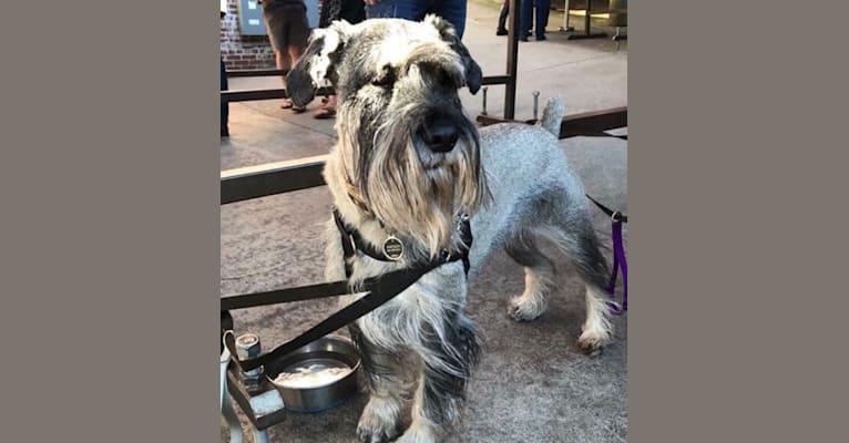 Photo of Watson, a Standard Schnauzer  in Oak Ridge, TN, USA