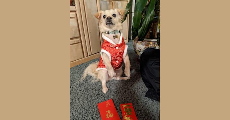Photo of Lu Lai, a Chihuahua, Poodle (Small), Pekingese, and Bichon Frise mix in California, USA