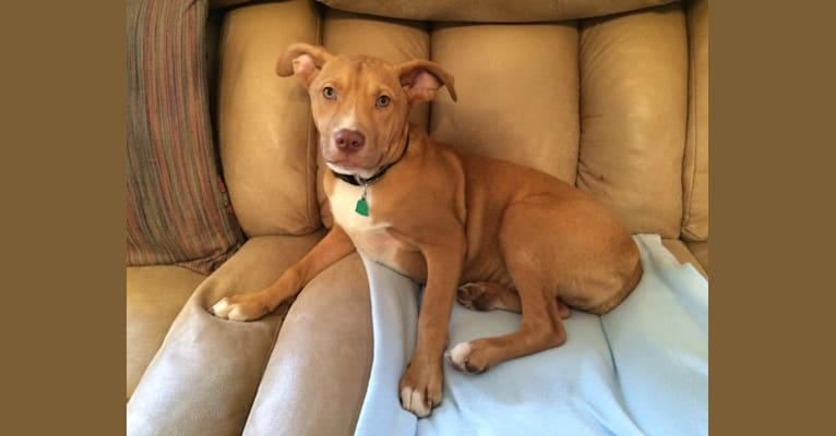 Photo of Rudolph (Rudy), an American Pit Bull Terrier, Boxer, and Mixed mix in Indianapolis, Indiana, USA