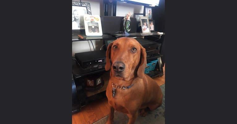 Photo of Opie, a Beagle, Redbone Coonhound, Bloodhound, and Golden Retriever mix