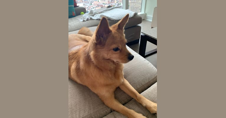 Photo of Copper, an East Asian Village Dog  in New York, New York, USA