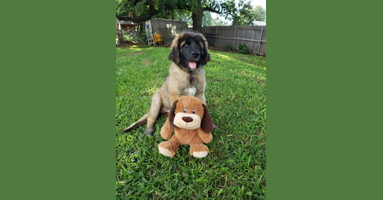Photo of MacLeod, a Leonberger  in Sunman, IN, USA