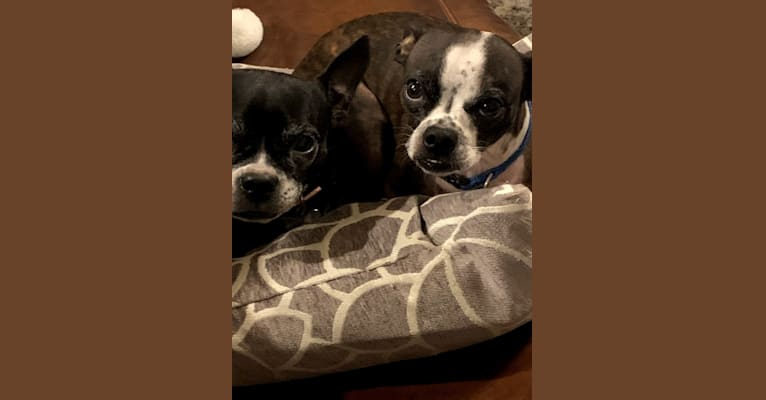 Photo of Peanut, a Boston Terrier and Chihuahua mix in The Woodlands, Texas, USA