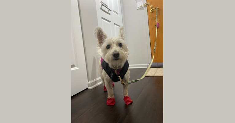 Photo of Lily, a West Highland White Terrier and Poodle (Small) mix in Chicago, Illinois, USA