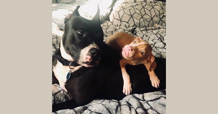Photo of Freddie, an American Pit Bull Terrier  in Rochester, New York, USA
