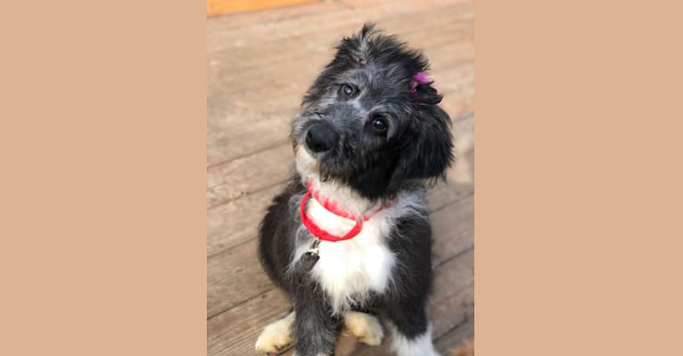 Photo of Cailin, a Poodle (Standard) and English Shepherd mix