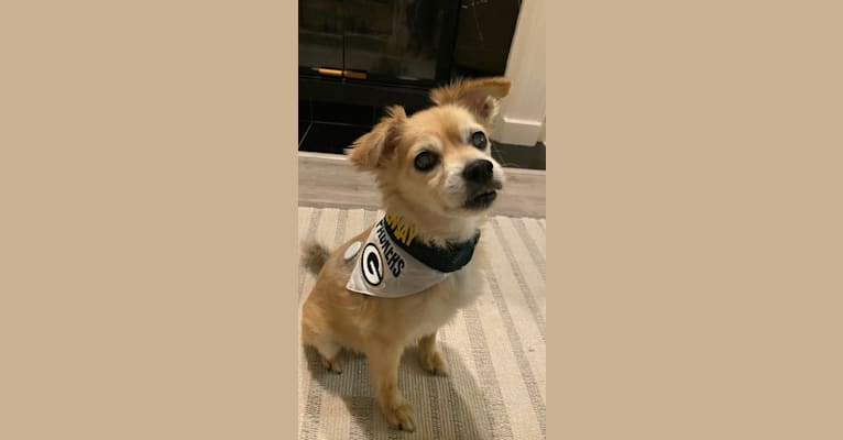Photo of Tod, a Pomeranian, Poodle (Small), Chihuahua, Cocker Spaniel, Miniature Pinscher, and Mixed mix in Watsonville, California, USA
