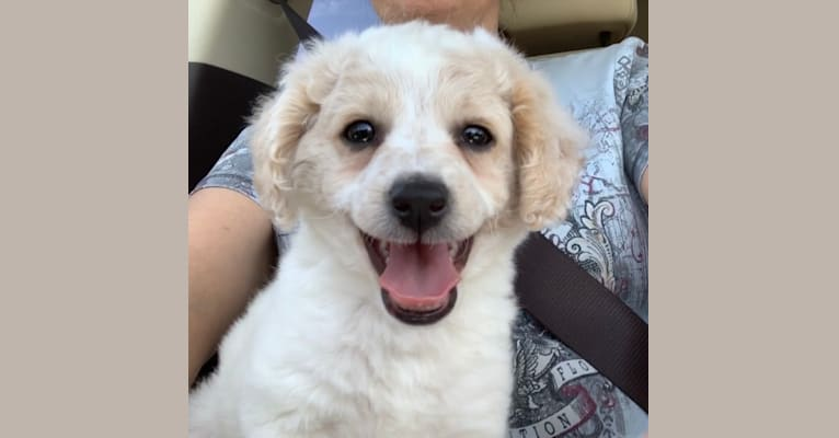 Photo of Benny, a Poodle (Small)  in Nicasio, California, USA