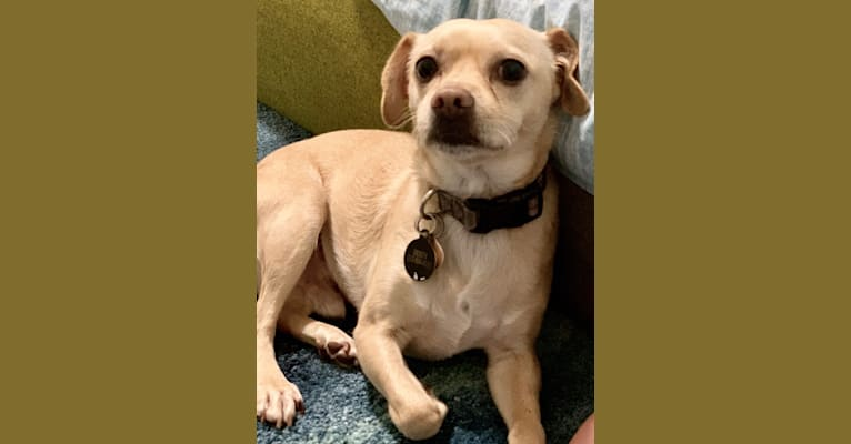 Photo of Dusty, a Poodle (Small), Chihuahua, Pekingese, and Mixed mix in California, USA