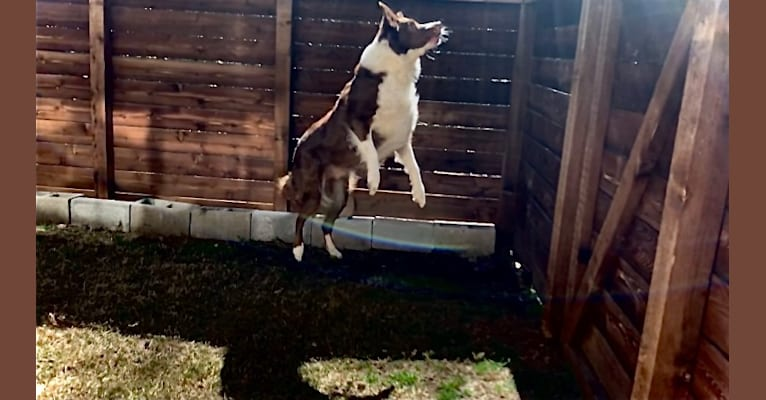 Photo of Christopher, an Australian Shepherd and Border Collie mix in Canton, TX, USA
