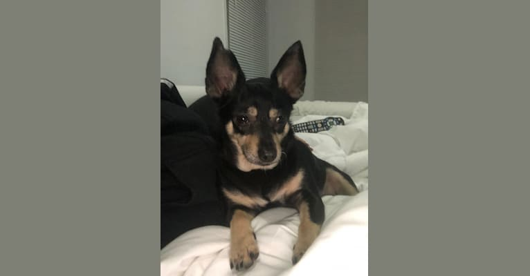 Photo of Bitty, a Chihuahua, Rat Terrier, Pekingese, and Mixed mix in Puerto Rico