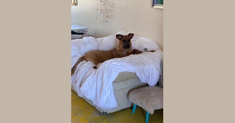 Photo of Moose Rex Zipp, a Boxer and German Shepherd Dog mix in Twentynine Palms, California, USA