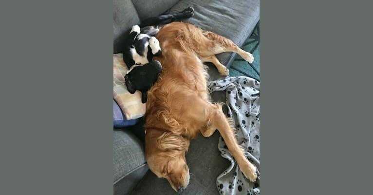Photo of Ralph, an Australian Cattle Dog, American Pit Bull Terrier, Rottweiler, and Australian Shepherd mix in Lubbock, Texas, USA