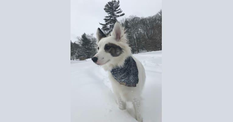 Photo of Baloo, a Siberian Husky, Golden Retriever, Australian Cattle Dog, and Norwegian Elkhound mix in Missouri, USA
