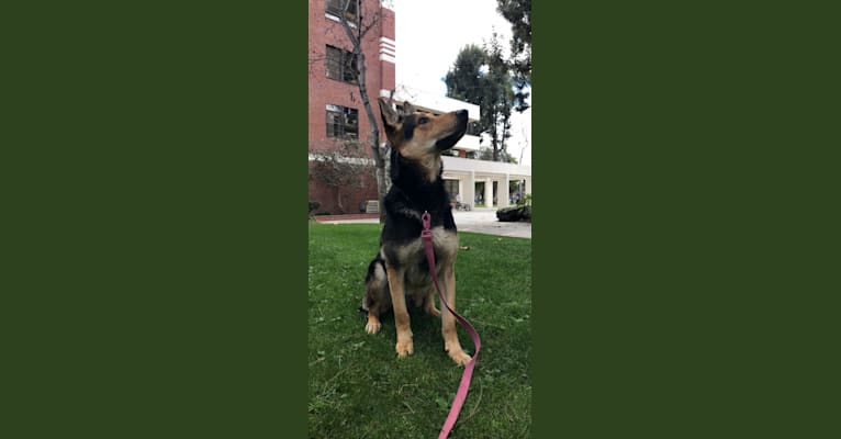Photo of Henry, a German Shepherd Dog  in Los Angeles, California, USA